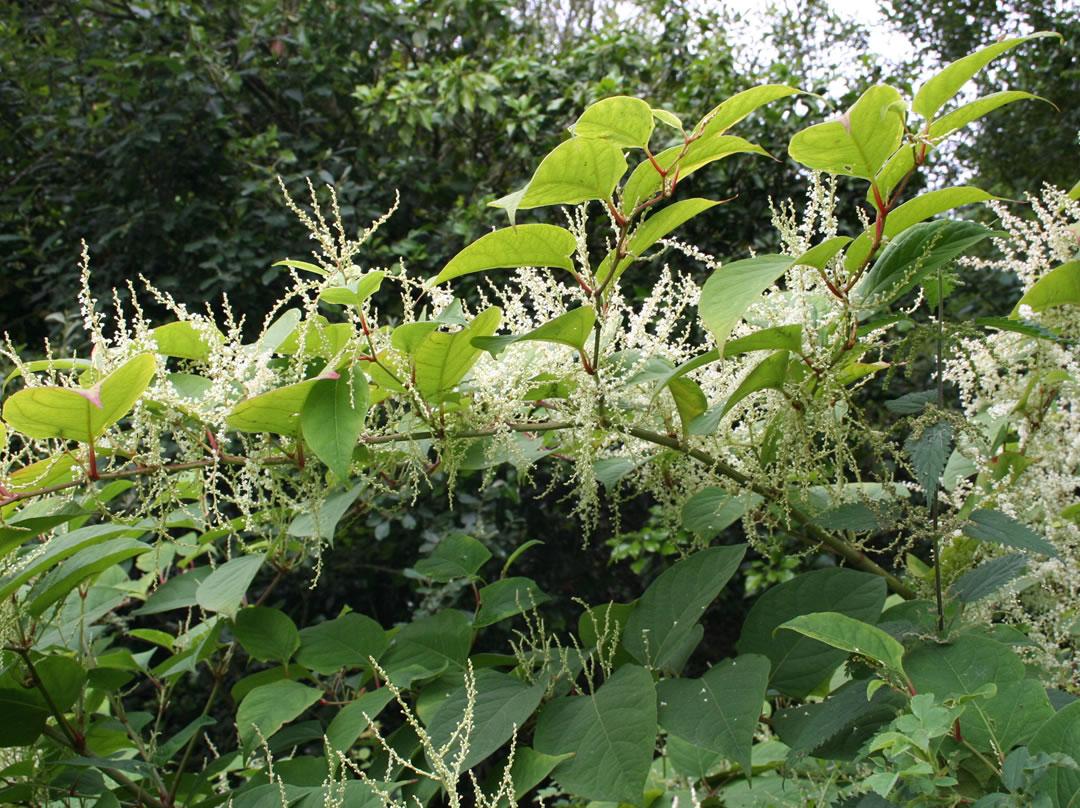 Japanese knotweed invasive plant specialist ireland invas